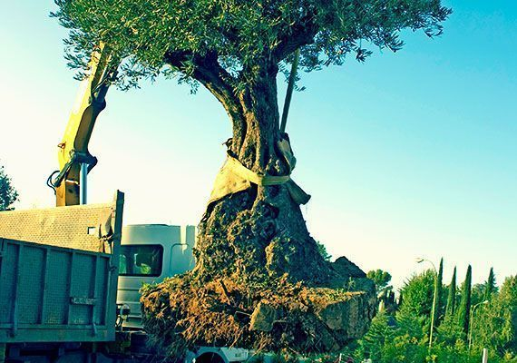 planta-paisajistas-plantacion-olivo-destac